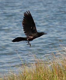 El cuervo pescador (Corvus ossifragus)2 es una especie de ave en la familia Corvidae. La misma suele habitar en hábitats con terrenos húmedos en el este y sureste de Estados Unidos.