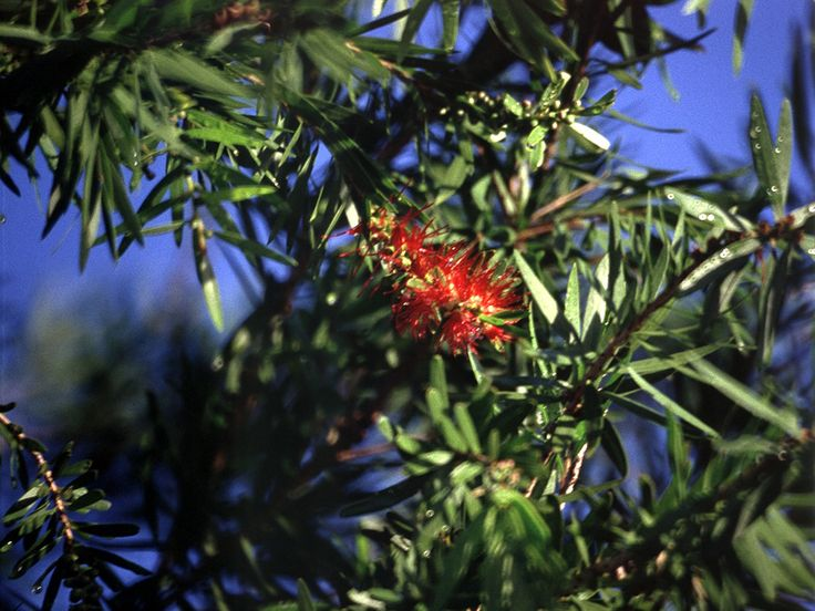 Zitronen-Zylinderputzer (Common Red Bottlebrush, Callistemon citrinus)