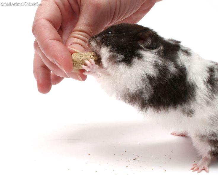 how to train a guinea pig to follow you