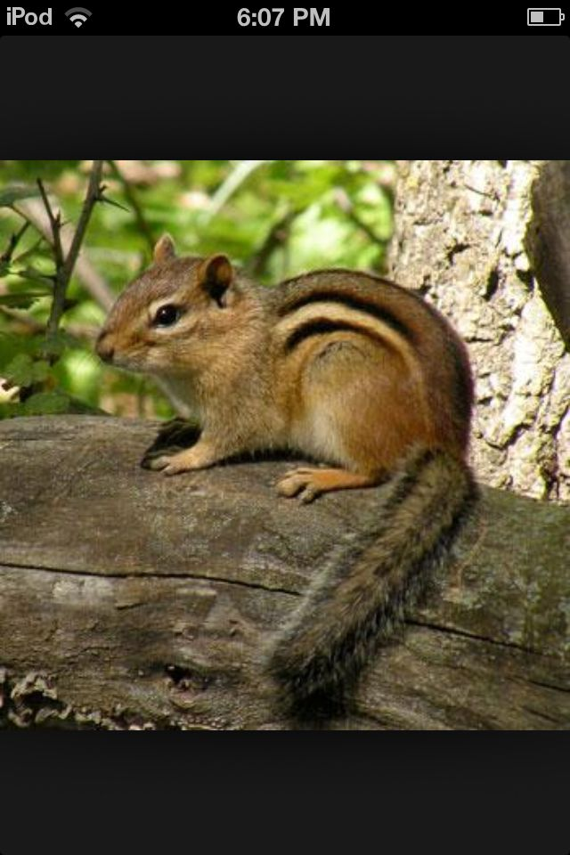 423 best cheeky chipmunks images on pinterest squirrels mammals of minnesota chipmunk minnesota dnr sciox Images