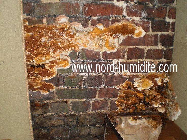 99 best images about champignon merule on pinterest - Champignon mur exterieur maison ...