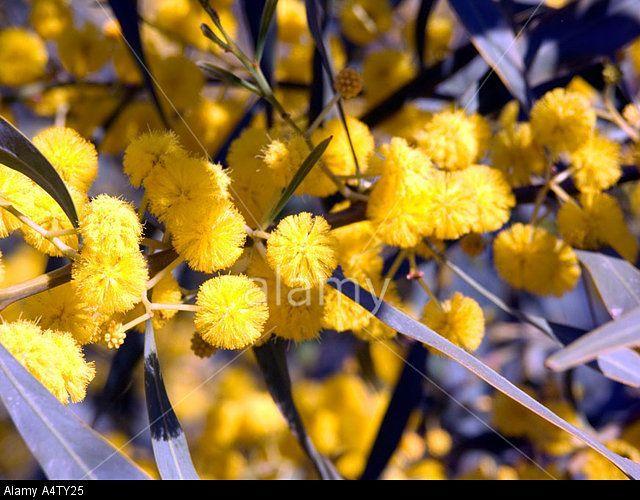 Stock Photo Mimosa Or Golden Wattle Tree Acacia Saligna In Flower Also Known As Golden Wreath Wattle Or In 2020 Mimosa Tree Flowering Trees Vegetable Garden Tips