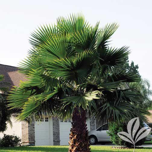 washingtonia palm | Washingtonia Palm
