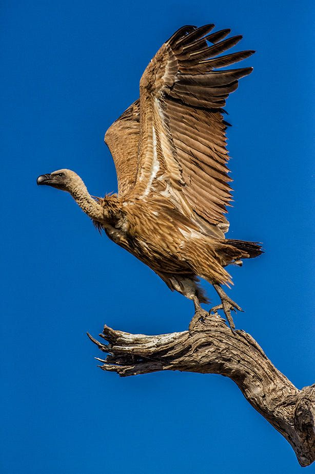 One of my luckiest shots ever. Stopped under tree in Botswana looked up and this vulture es about to take off!