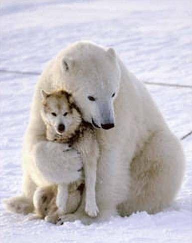 Polar bear hugs her wolf friend.
