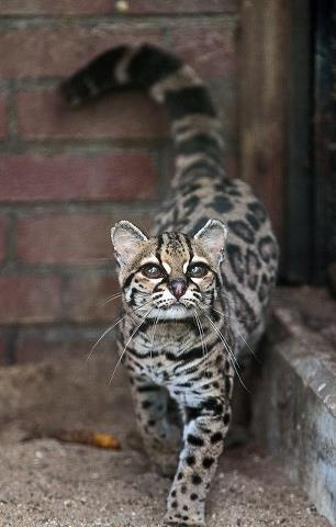 Marqay Cat is a rare cat that's near threatening of extinction.  Found in the rain forrest of Mexco to Argentia, Central and South America.