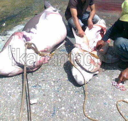 ΕΙΚΟΝΕΣ: εξαβράγχιοι καρχαρίες σε ψαριά στην Ικαρία | ikariamag.gr