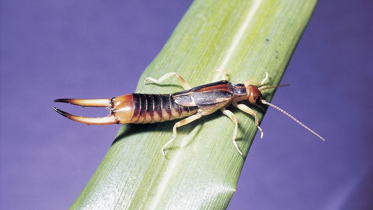 A living contradiction, earwigs are both a beneficial insect and a garden pest.