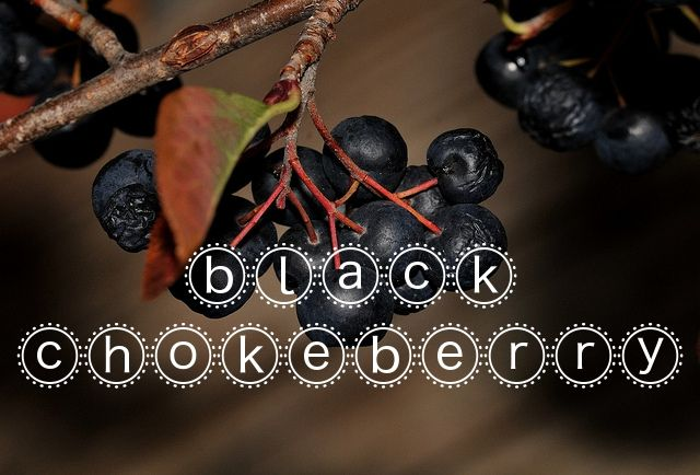 """Black Chokeberry (Aronia melanocarpa) - Native to eastern North America, the fruit from this plant (commonly called Aronia berries) are touted as a """"superfood"""" due in part to their anti-bacterial, anti-diabetic and cancer-fighting properties. Instead of shelling out at the health food store, why not get outside and collect (or grow) your own?"""