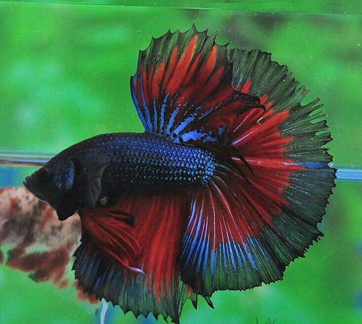 17 best images about betta fish on pinterest copper for How long can a betta fish live
