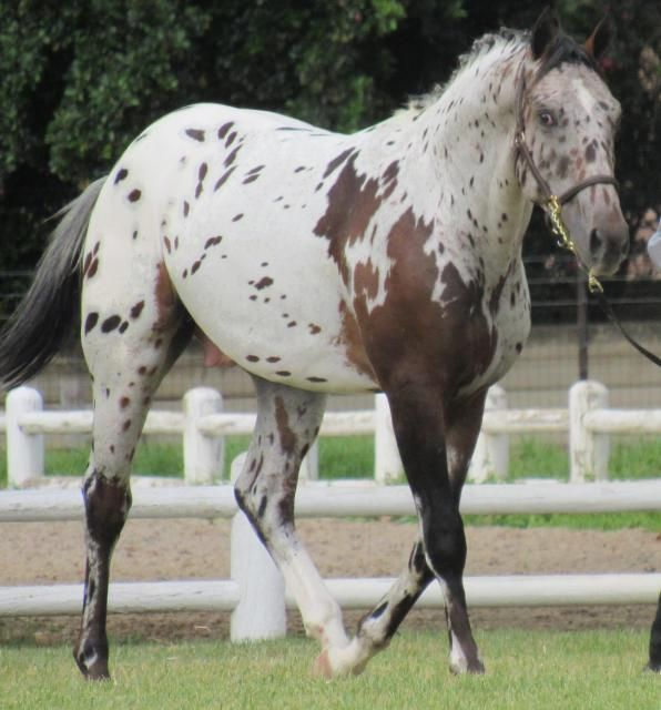 """bay leopard with mismark -use trotting WB mare, and name her """"Little Miss Marker"""""""