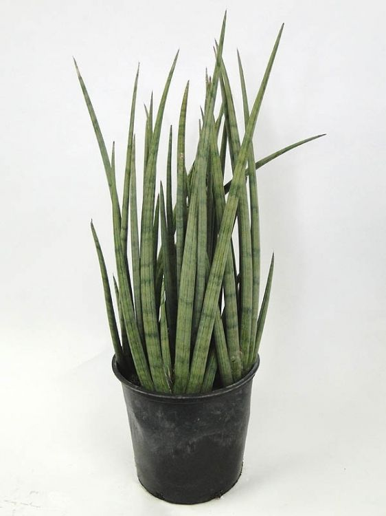 Cylindrical Snake Plant White Homes And Rooms With Green