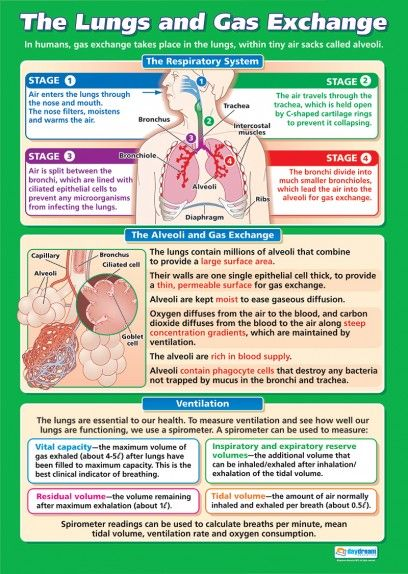 The Lungs and Gas Exchange Poster