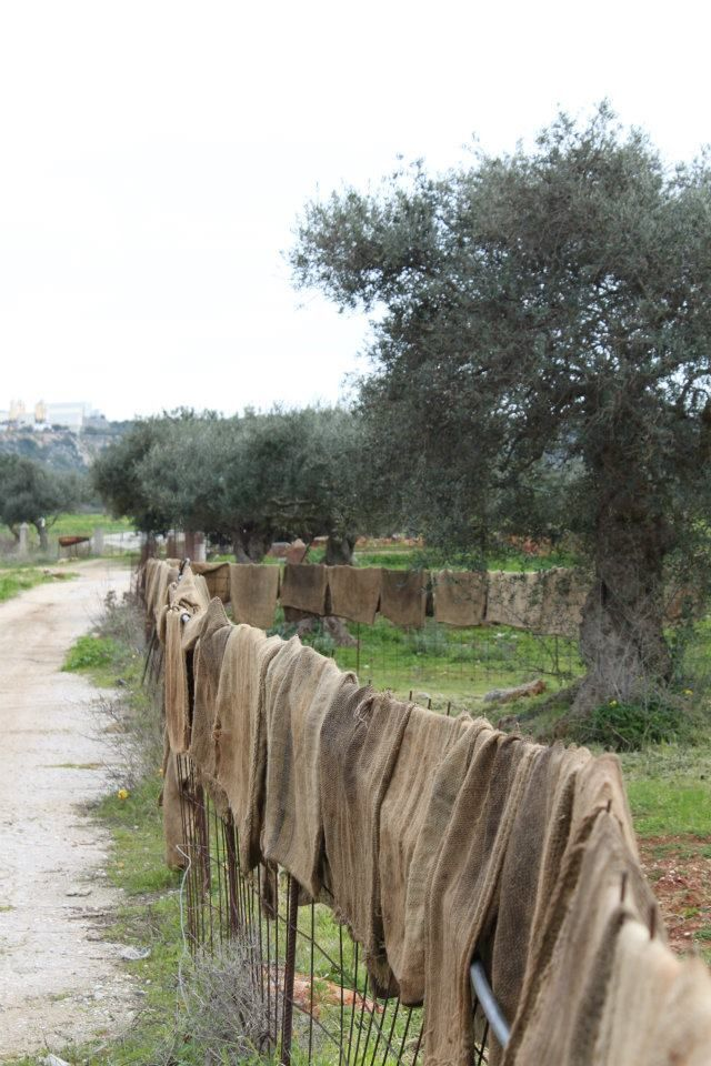 Olive bags drying in the fields....pure simplicity