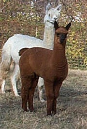 Alpacas are native to South American mountain regions and were first raised by Andean Indians.  After the Incan conquest, alpacas became the basis of wealth for the Incan society. (BQD Ranch - Llama, Alpaca, Vicuna, Guanaco Facts)