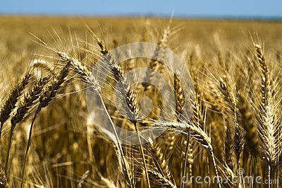 Golden Wheat ready for harvest.raw format