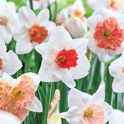 Buy Pink Daffodil Mix at Spring Hill Nursery