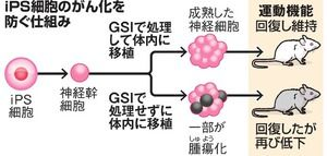 神経幹細胞の中で、組織への分化や細胞の複製に重要な遺伝子の働きを調節する仕組みに注目。ヒトのiPS細胞から作った神経幹細胞を、この仕組みが働かなくなるようにする「GSI」という薬につけてから、脊髄(せきずい)が損傷したマウスに移植した。