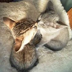 chatons bisous 3