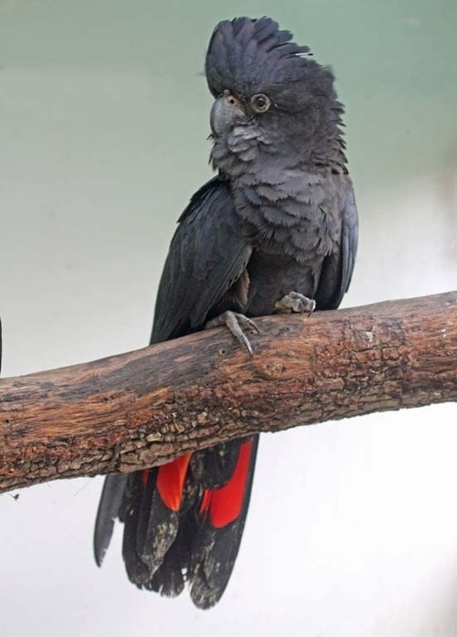 The Red-tailed Black Cockatoo, Calyptorhynchus banksii, is a large cockatoo native to Australia.