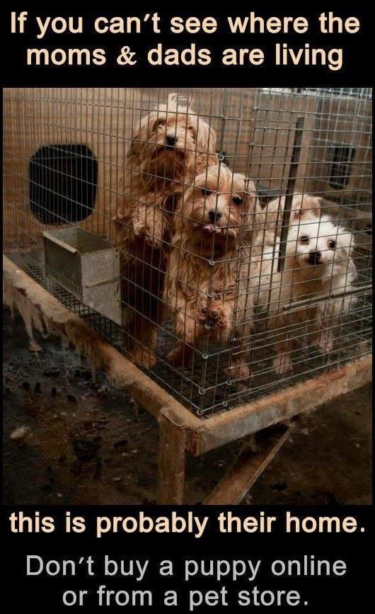Don't buy from pet stores. You are supporting this if you do! Instead, RESCUE, RESCUE, RESCUE one of the millions of dogs needing a forever home!!!!!!!!!