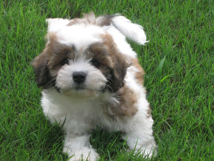 Zuchon Teddy Bear Puppy Teddy Bear Zuchon Puppies Amp Dogs Bichon Shih Tzu Mix Pinterest