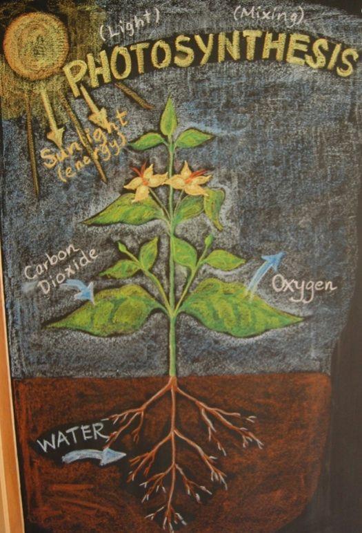 Waldorf ~ 5th grade ~ Botany ~ Photosynthesis ~ chalkboard drawing