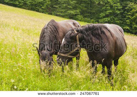 Horses on Pasture  - stock photo