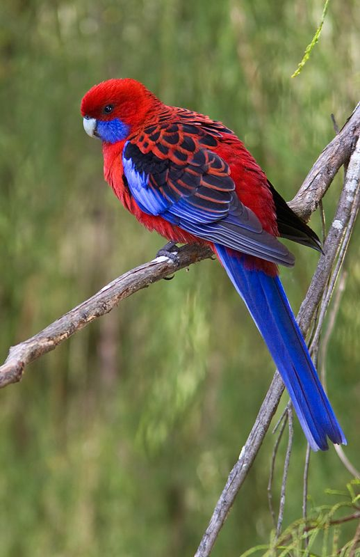 O Rosella carmesim (elegans de Platycercus) é um papagaio nativo do leste e sudeste da Austrália , que foi introduzido a Nova Zelândia e a Ilha Norfolk