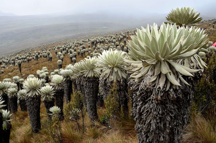 """Colombia. Paramo de Oceta, a variety of alpine tundra ecosystems: of the regions above the continuous forest line, yet below the permanent snowline. It is a """"Neotropical high mountain biome with a vegetation composed mainly of giant rosette plants, shrubs and grasses. Located in the Neotropics, spec. South and Central America, (Venezuela, Colombia, Peru and Ecuador). Paramo may be """"evolutionary hot spots"""" and among the fastest evolving regions on Earth. (text by aliXeMona, source Wikipedia)"""