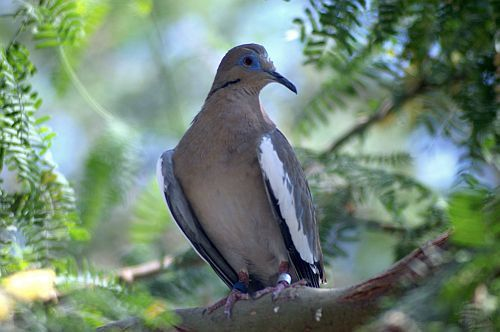 "https://flic.kr/p/M39oK | White Winged Dove | Sings a song - sounds like she's singin':  ""hoo!""  (baby)  ""hoo!""  (baby)  ""hoo!""  I'd apologize to Stevie Nix, but she wrote the dumb song."