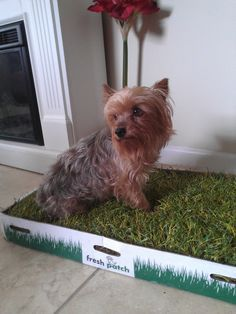 Pinterest\'teki 25\'den fazla en iyi Indoor dog potty fikri ...