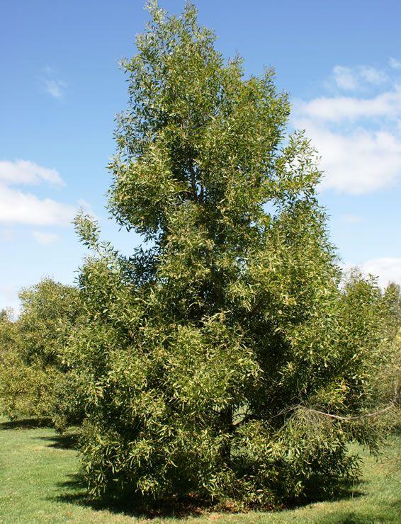 blackwood  Acacia melanoxylon  shapely, dense small tree; mid-green foliage; moist deep soils; cream pom-pom blossom in summer