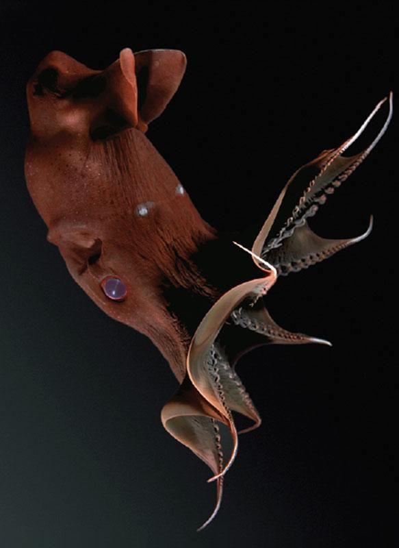Lula Vampiro - Vampyroteuthis é um cefalópode que vive na zona de menor oxigênio da Bahia de Monterey Califórnia,EUA, em profundidades de 600 1 900 metros.