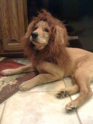 The Lion Dog    This dog has the noble look of a lion...with the help of a costume mane, that is.
