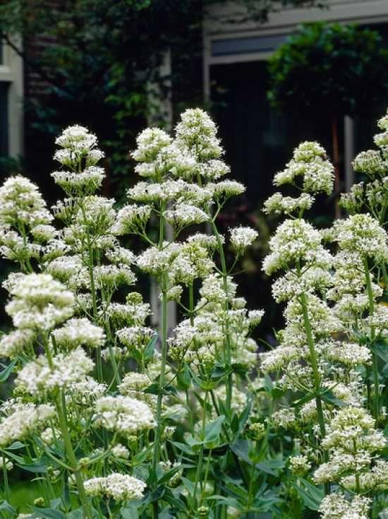 172 besten gartenpflanzen weiss bilder auf pinterest. Black Bedroom Furniture Sets. Home Design Ideas