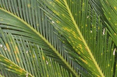 2fa004d59abfb69ee3cc545382c9b1b1--palm-plants-sago-palm Palm House Plant With Yellow Flowers on vine plant with yellow flowers, broadleaf plant with yellow flowers, succulent plant with yellow flowers, fern plant with yellow flowers,