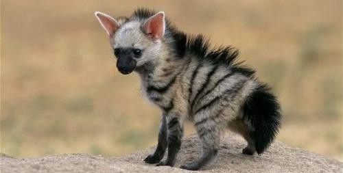 Eine Baby Hyäne <3 So adorable!