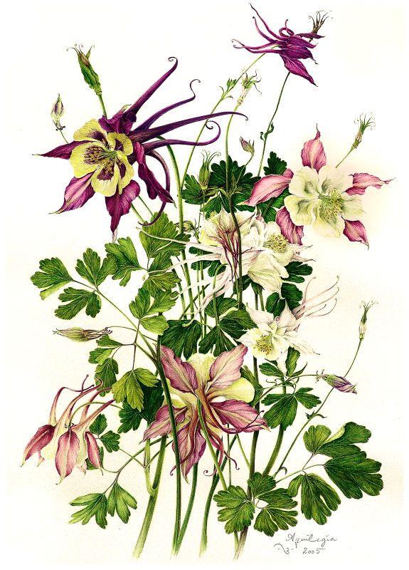 Columbines - botanical illustrations by milly acharya