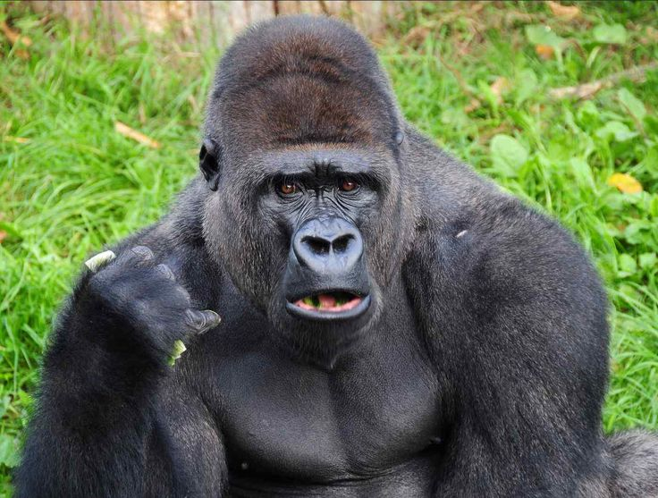 Gorilla http://www.theonion.com/articles/gorilla-wont-stop-saying-gorilla-in-sign-language,33445/