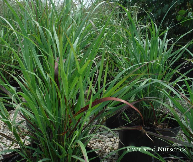 1000 images about ornamental grasses for sun and shade on for Decorative grasses that grow in shade