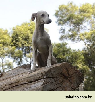 Italian Greyhound. #dog #salatino #clubesalatino #canil #perro #dogs #cute #love #nature #animales #dog #ilovemydog #ilovemypet #cute #galgos #greyhound #galgoespanhol #galgo