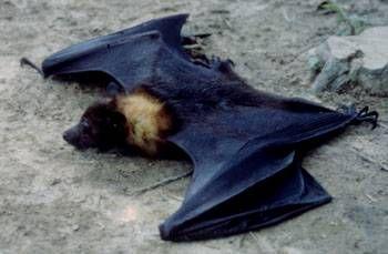 Zorro volador filipino Pteropus vampyrus Indochina al Sundas Menor; a lo largo de las Filipinas excepto la región de Batanes, El bosque de la tierra baja y la tierra agrícola adyacente, es netamente frugivoro
