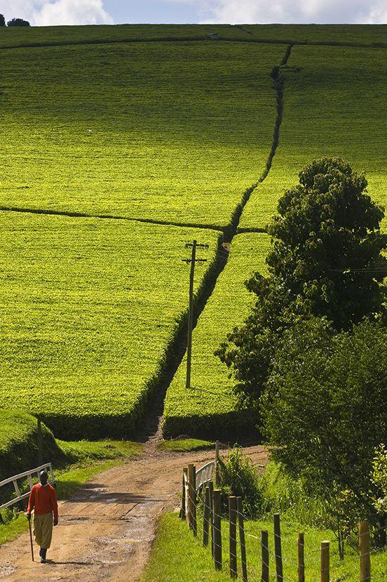 Kericho tea plantation Kenya