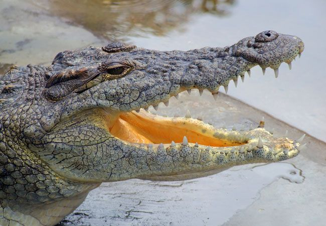 Nile Crocodile {Crocodylus Niloticus}