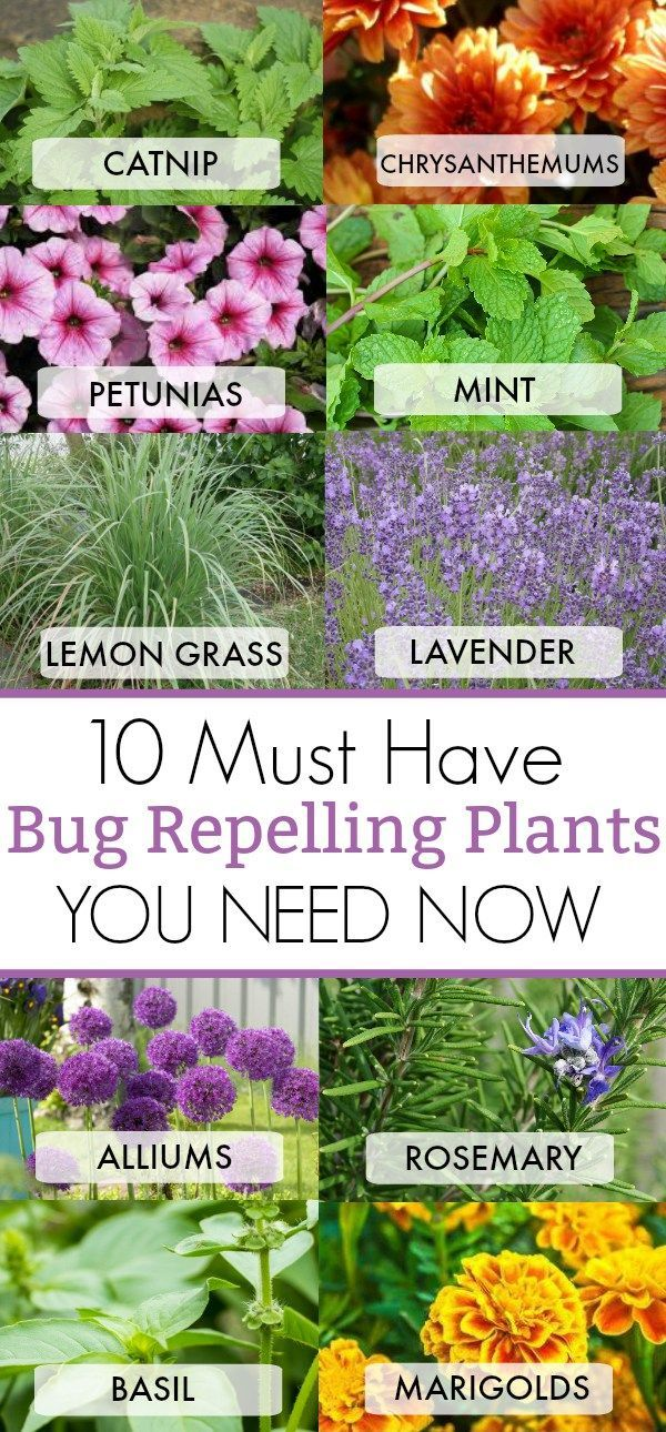 10 Must Have Bug Repelling Plants This Summer For Your Home