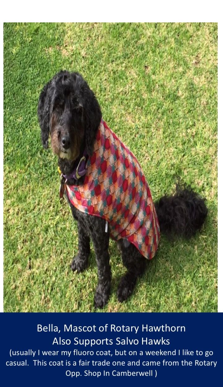 This is Bella, #Rotary #Hawthorn mascot and lover of @salvohawks #football games.  Here she is pictured in a fair trade coat from #Rotary Op shop in #Camberwell.
