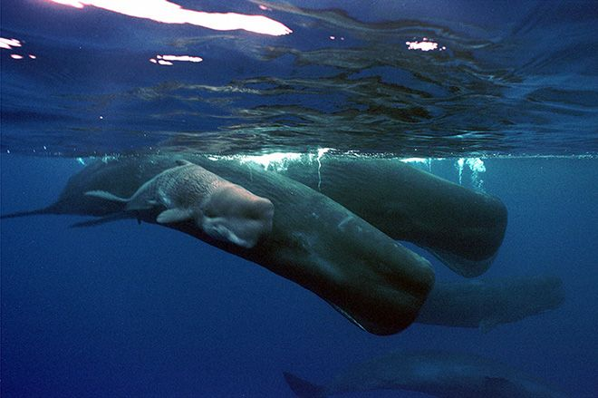 Whales | PORTLAND — Sperm whales sometimes collaborate when they forage the ...