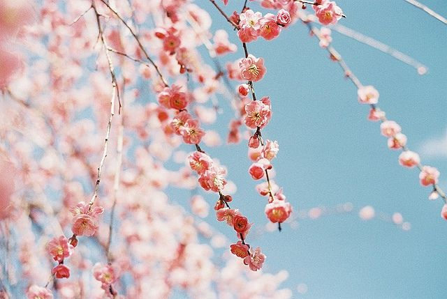 Spring blossoms: Cherries Blossoms, Photos, Color Palettes, Things Pink, Design Subject, Spring Blossoms, Girls Rooms, Flower, Design Blog