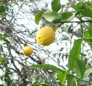 Citron från Turkiet